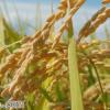 稲は日本人の食生活に革命をもたらした偉大なる輸入品