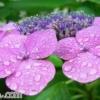 雨に関係する日本語の由来 「稲妻」 「五月晴れ」 「時雨」 「梅雨」