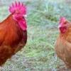 古から人の生活に欠かせない「鶏」は「庭つ鳥」の意味